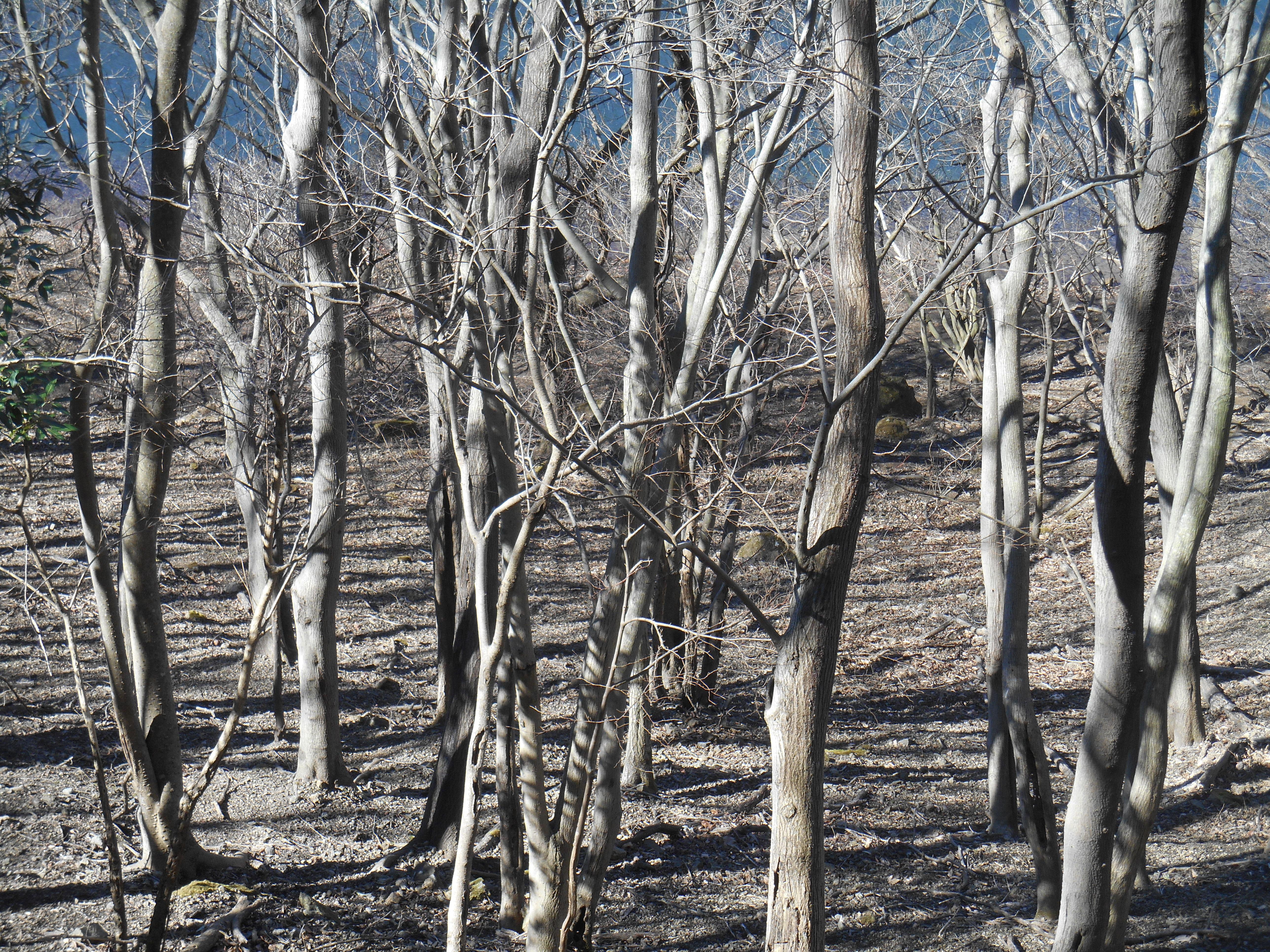 枯れて活き活きと立つ樹々